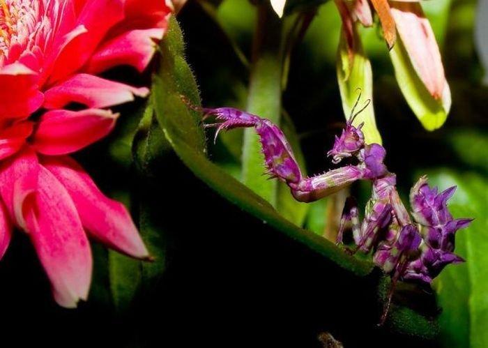 Богомол цветы