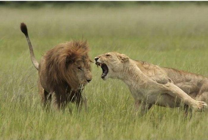 этом варианте как мириться с недостатками льва юбилей