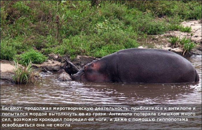 http://zagony.ru/admin_new/foto/2011-9-26/1317031316/spasenie_antilopy_11_foto_10.jpg