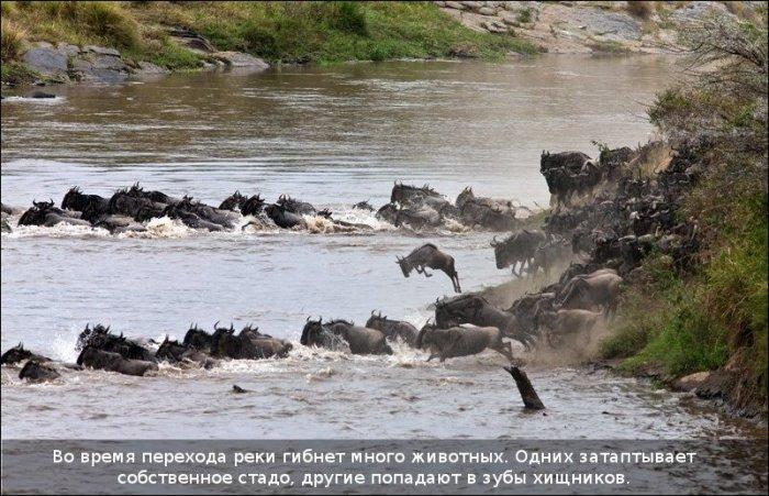 http://zagony.ru/admin_new/foto/2011-9-26/1317031316/spasenie_antilopy_11_foto_2.jpg