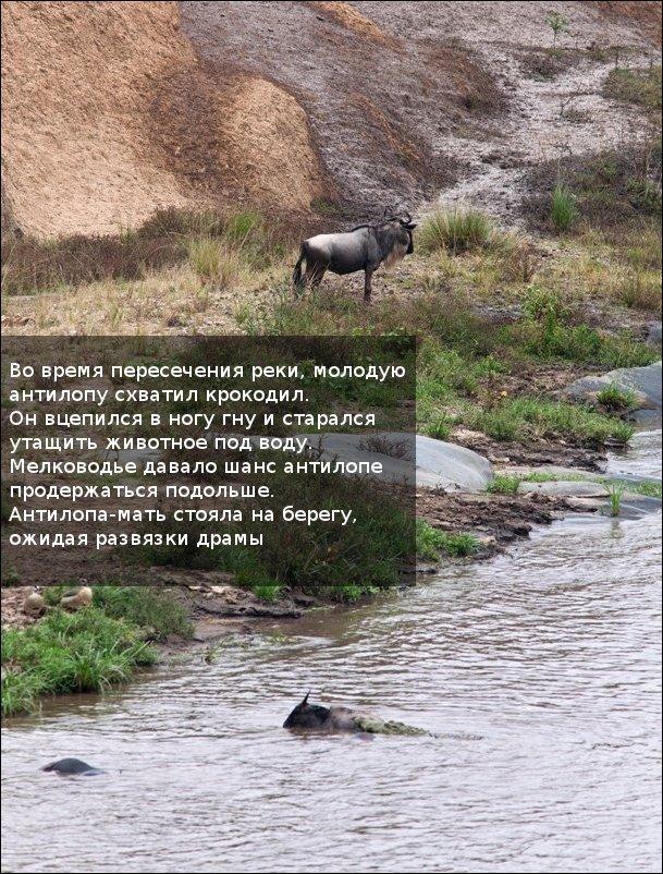 http://zagony.ru/admin_new/foto/2011-9-26/1317031316/spasenie_antilopy_11_foto_3.jpg