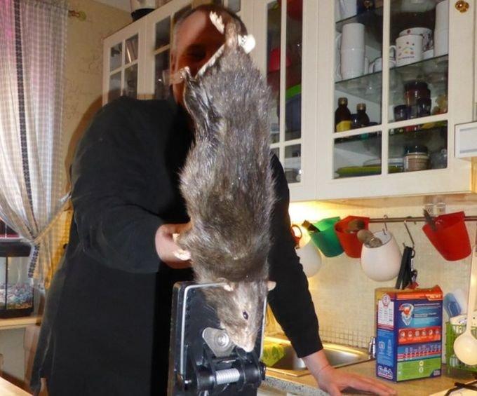 Огромная крыса (3 фото)
