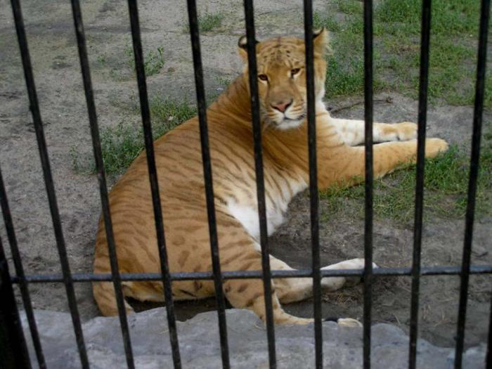 Лигеры и тигоны (10 фото)