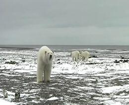 Пугливые белые медведи (2.541 MB)