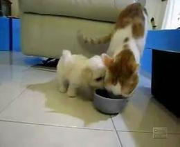 Щенок пристает к коту (1.745 MB)