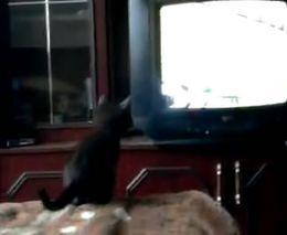 Котенок смотрит футбол (647.096 KB)
