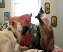 Кот отбоксировал пса (3.681 MB)