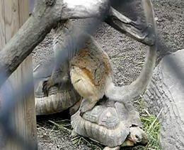 Лемур катается на черепахах (1.974 MB)