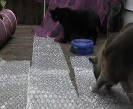 Кошки и пленка с пузырьками (6.850 MB)