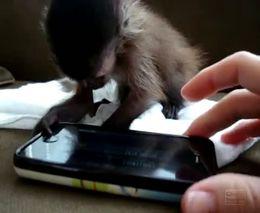 Маленькая обезьянка и Iphone (4.611 MB)