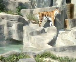 Нападение птички на тигра (2.539 MB)