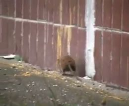 Нападение крысы на кошку (3.262 MB)