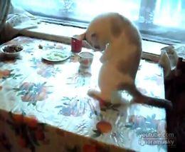 Кот-кенгуру