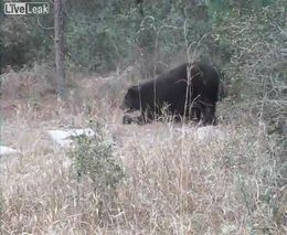 Необычная походка медведя (3.056 MB)