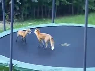 Лисицы прыгают на бабуте (2.590 MB)