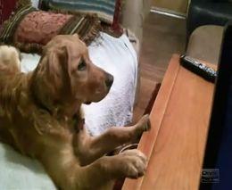 Забавный пес смотрит телевизор (6.583 MB)