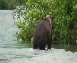 Опасная работа - снимать медведей (4.218 MB)