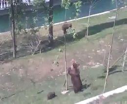 Медведица спасает медвежонка (5.763 MB)