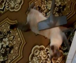 Коту нравится, когда его пылесосят (4.299 MB)