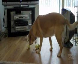 Собака и мячики (1.663 MB)