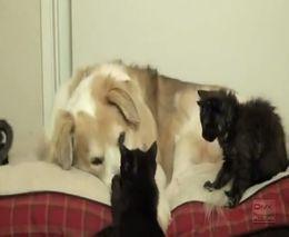 Спокойный пес и приставучие котята (7.276 MB)