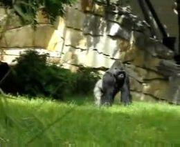 Грозная горилла (1.581 MB)