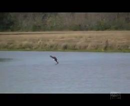 Орлы умеют не только летать, но и плавать (5.363 MB)