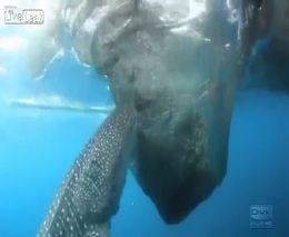 Сообразительная китовая акула (2.862 MB)