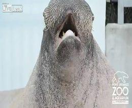 Дрессированный морж (2.881 MB)