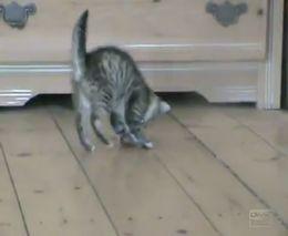Кот-попрыгунчик