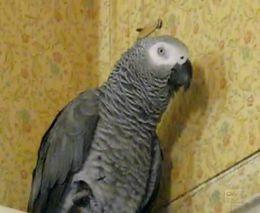 Забавный попугай (1.595 MB)