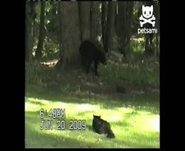 Грозный кот прогнал медведя (2.421 MB)