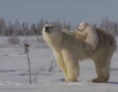 Милые белые медведи (5.297 MB)