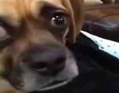 Собака в шоке (323.059 KB)