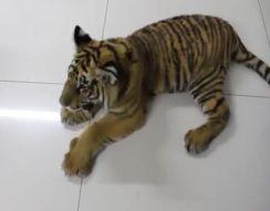 Знакомство тигра и собаки (7.416 MB)