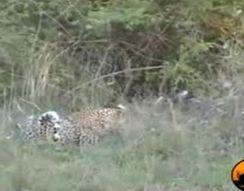 Леопард хватает птицу (2.571 MB)