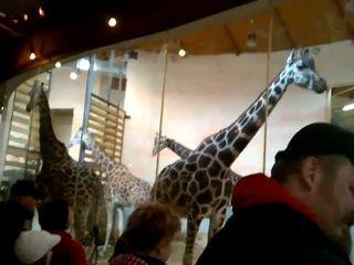 Падение жирафа (3.183 MB)