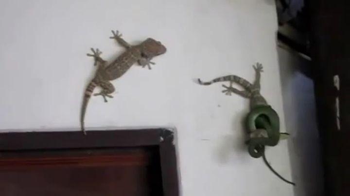 Геккон спас товарища от змеи (13.050 MB)