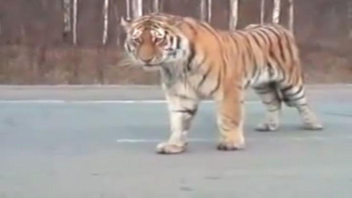 Амурский тигр удивил автомобилистов (12.853 MB)