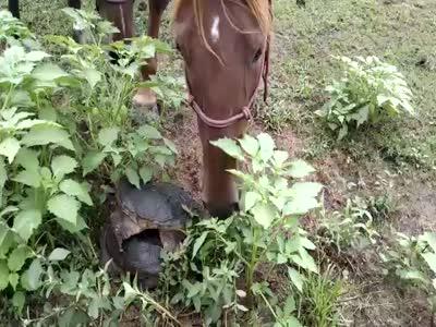 Черепаха напала на лошадь (2.150 MB)