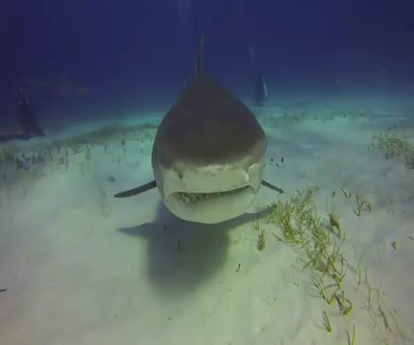 Акула попробовала сожрать камеру (3.099 MB)