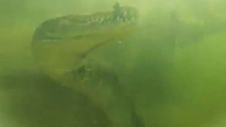 Крокодил отобрал камеру у водолазов (4.568 MB)