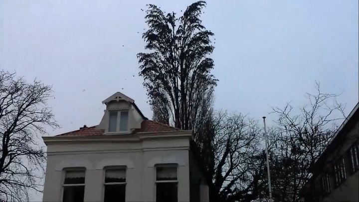 Одновременный взлет сотен птиц с дерева (5.078 MB)