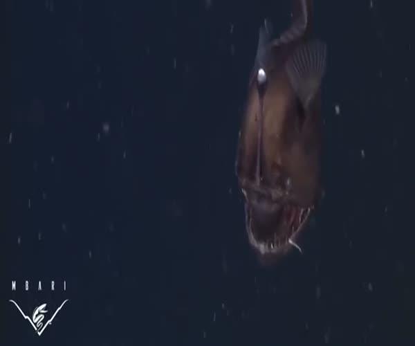 Морского черта впервые сняли на видео (5.937 MB)
