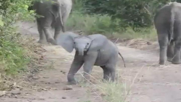 Слоненок пугает туристов (3.854 MB)