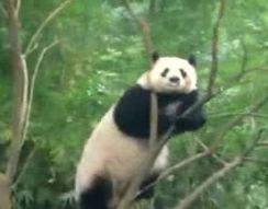 Панда сошла с ума (6.911 MB)
