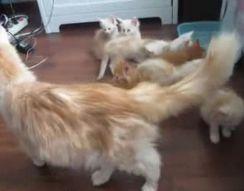 Кошка распугала всех котят (2.275 MB)