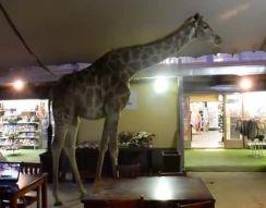 Жираф зашел в гости (8.718 MB)