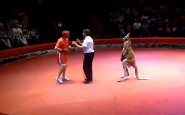 Боксер против кенгуру (5.545 MB)