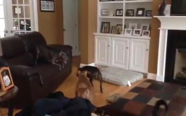 Собака двигает диваны (1.897 MB)